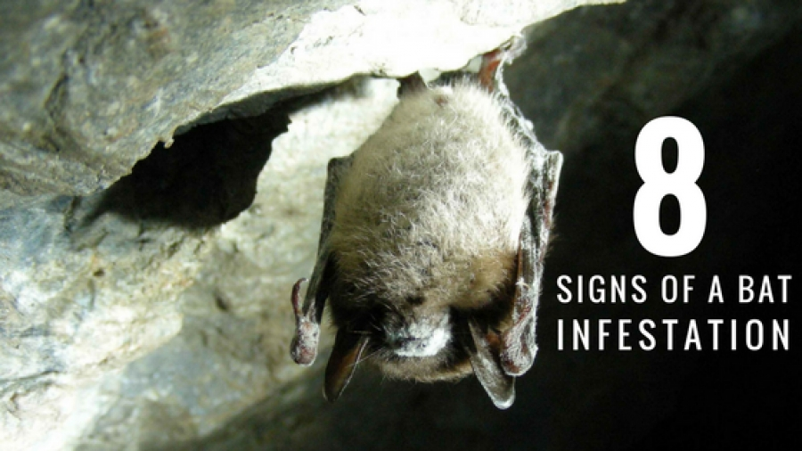Bats Alert: Watch Out For These 8 Signs Of a Bat Infestation