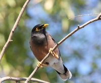 Indian Myna - Acridotheres tristis